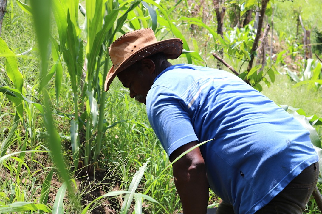 Maíz, yuca y ñame son algunos cultivos que cosecha Humberto Blanco en su parcela en el Cerro Capiro.